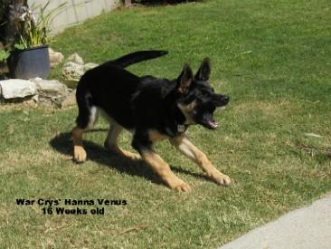 german shepherd growling - photo #8